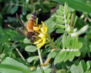 미국·유럽에서 꿀벌의 개체수가 급격히 감소한 까닭이 식물에서 유래한 바이러스 때문인 것으로 밝혀졌다. - J.M.Garg 제공